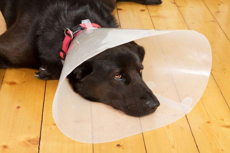 chien-labrador-noir-collerette